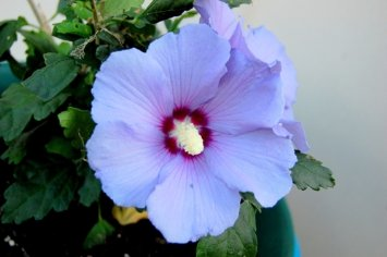 Blue Satin Hibiscus Rose of Sharon