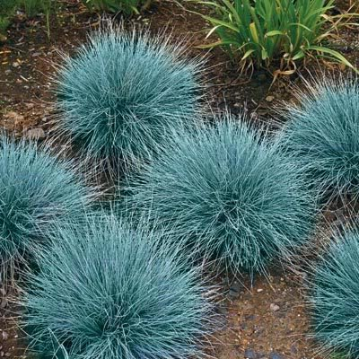 BLUE SHEEPS FESCUE GRASS