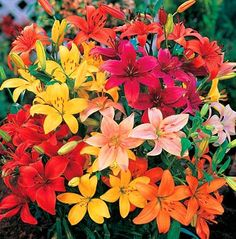Bold Mix Asiatic Lily 10 Bulbs