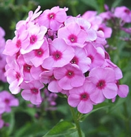 Bright Eyes Tall Summer Phlox - 2 root divisions