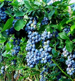 Brightwell Blueberry Bush Plant
