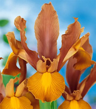 Bronze Beauty Dutch Iris - 4 bulbs
