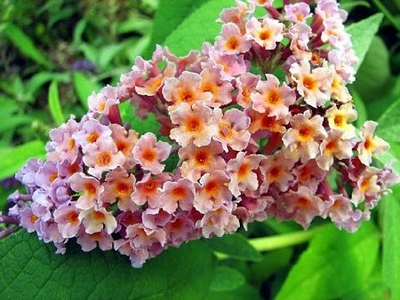 Buddleia Bi-Color Butterfly Bush 4 inch pot
