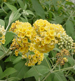 Buddleia Honeycomb