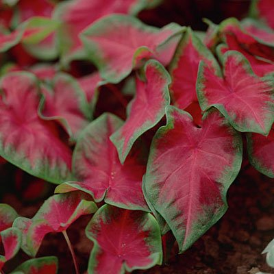 Caladium Bulbs Frieda Hemple  3 Bulbs