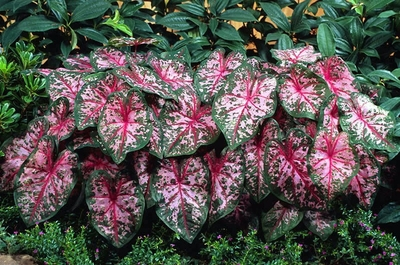 Caladium Fancy Carolyn Whorton 3 Bulbs - Light Pink/Dark