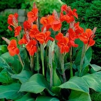 Canna Lily Bulbs - The President Red Canna Rhizomes / Bulbs / Roots (3