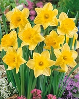 Carlton Large Cup Daffodil - 5 bulbs