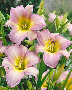 Catherine Woodbury Daylily - 2 root divisions