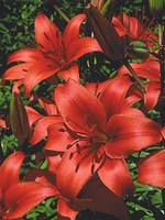 Chief Asiatic Lily - 3 bulbs