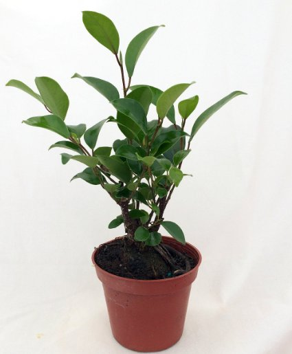 chinese ginseng ficus bonsai tree 3 5 pot. Black Bedroom Furniture Sets. Home Design Ideas