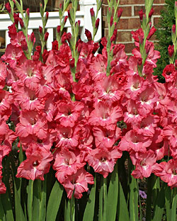 Chit-Chat Gladiolus