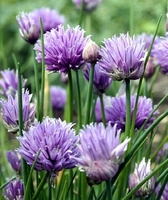 "Chives - Hardy Perennial - Easy to Grow! - 3"" Pot"