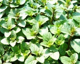 Chocolate Mint Live Plant 3'' pot.