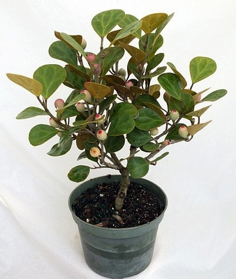 Christmas Mistletoe Fig Tree - Mas Cotek - Ficus