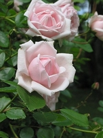 Climbing New Dawn Rose - Most Popular Rose in the World - Potted