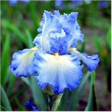 Cloud Ballet Tall German Bearded Iris - 2 root divisions