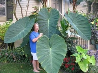 colocasia - jacks giant - biggest plant