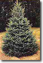 Colorado Blue Spruce Seedling