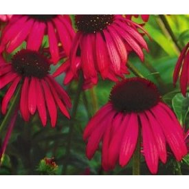 Coneflower Twilight