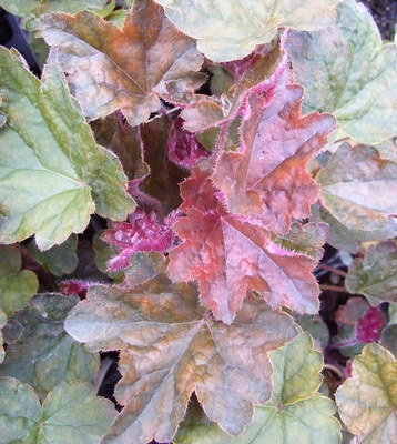 Coral Bells Palace Purple - Heuchera - Shade Perennial