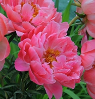 Coral Charm Peony - 1 root division