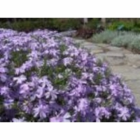 Creeping Phlox Blue