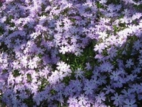 Creeping Phlox Perennial - One Quart Pot