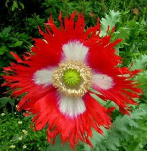 Danish Flag Afghan Poppy 250 Seeds