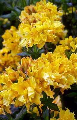 Deciduous Exbury Azalea Cheerful Giant