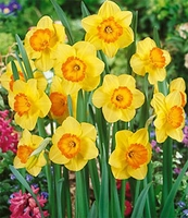Delibes Large Cup Daffodil - 5 bulbs