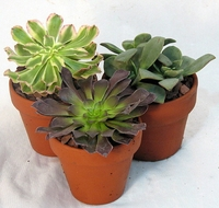 "DESERT ROSE COLLECTION - AEONIUM - 3 PLANTS - 3"" POTS"
