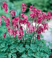 Dicentra - Bleeding Heart King of Hearts