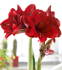 Double Dragon Amaryllis - 1 bulb