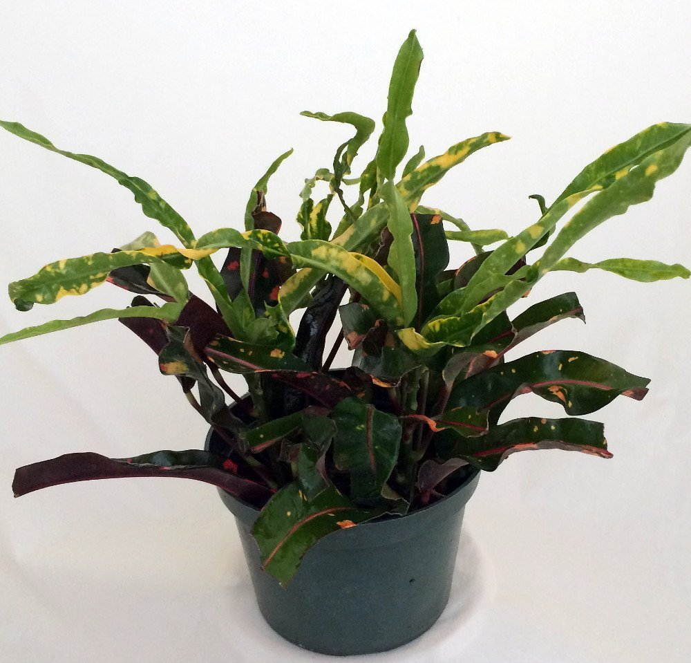 Dreadlocks croton 6 pot colorful house plant easy to grow - Indoor colorful plants ...