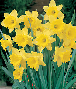 Dutch Master Trumpet Daffodil - 5 bulbs