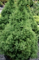 Dwarf Alberta 'Conica' Spruce - Picea - Potted - Mini Christmas Trees
