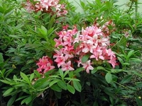 Exbury Azalea Pink and Sweet - Purplish Pink