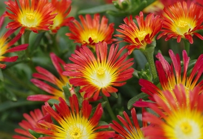 FIRE WONDER ICE PLANT- PERENNIAL- INDOORS OR OUT- DELOSPERMA- LIVE PLA