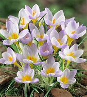 Firefly Species Crocus - 5 bulbs