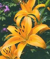 Freedom's Glow Asiatic Lily - 3 bulbs
