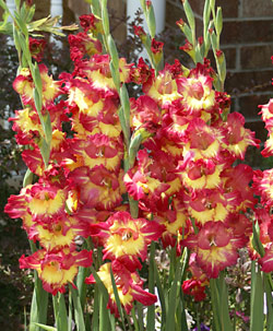 Fun Time Gladiolus