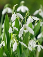 Giant Snowdrop Galanthus - 5 bulbs