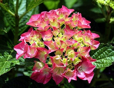 "Glowing Embers Hydrangea macrophylla - Excellent Bloomer - 4"" Pot"