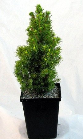 Gold Tip White Spruce Bonsai Tree Picea Glauca 4 Pot