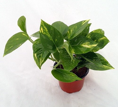 Golden Devil's Ivy - Pothos - Epipremnum - Very Easy to Grow