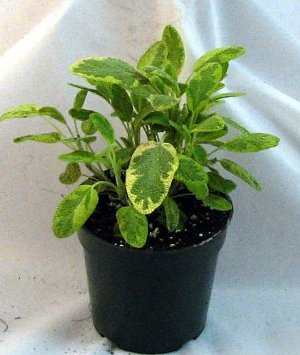Golden Sage Herb - Grow Indoors/Out
