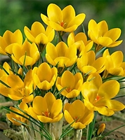 Goldilocks Species Crocus - 5 bulbs