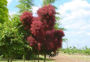 Grace Smoketree