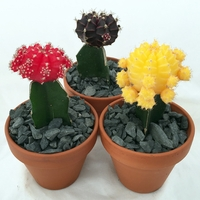 "GRAFTED MOON CACTUS - EASY TO GROW - SPECTACULAR - 3"" POT"